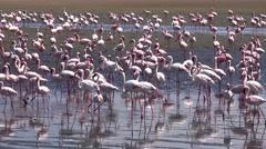 Flamingos (in Walvis Bay, Namibia) - stock footage