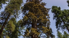 Yosemite National Park Nature, Landscape Hyperlapse Timelapse Giant Sequioa Stock Footage