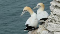 Gannets at Bempton Cliffs, England Stock Footage