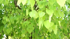 green leafs of bo tree - stock footage