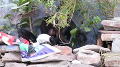 Big dog with hispuppiesclimbing on stones on the streets of Jodhpur. Stock Footage
