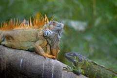 Green Iguana mating game Stock Photos