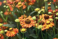 Beautiful Helenium hybridum flowers Stock Photos