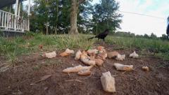 Brewer black bird picks up bread flies away Stock Footage