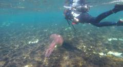 Mauve Stinger Jellyfish: Scuba Diving in clear Gozo sea water Malta Stock Footage
