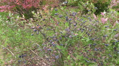 Blueberry berry bush grow in garden plantation. Healthy food Stock Footage
