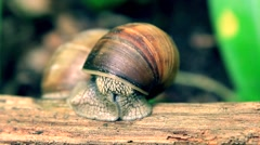 Forest Snail on big branch opening eyes and exploring  surrounding Stock Footage