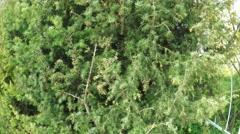 Juniper in garden Stock Footage