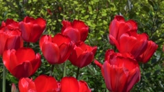 Group of red tulips in the park. Natural background Stock Footage