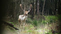 Fallow buck, oblivious to danger, walks toward camera. Stock Footage