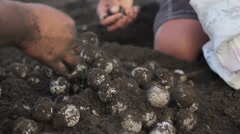 Gathering Turtle eggs in Costa Rica Stock Footage