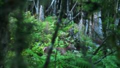 Red Stag senses danger and runs away in NZ rain forest. Stock Footage