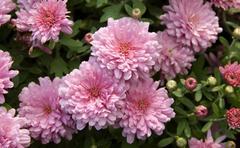 Autumn flowers, gerbera in a large bush in flower garden. Stock Photos