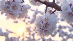 Spring blossom over sunset sky. Beautiful nature scene with blooming sakura tree Stock Footage