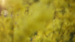 Closeup video of forsythias flowers in bloom with focus pull, prores hq footage Stock Footage