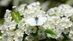 White Butterfly on White Blossom Stock Footage