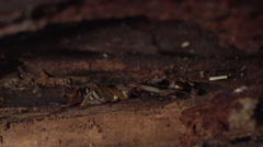 Tree Weta crawling into nook in tree trunk Stock Footage