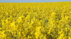Field with a crop of oilseed rape Stock Footage