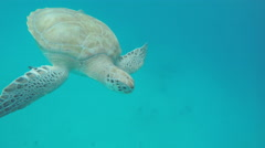 Snorkeling with Turtles in Barbados Stock Footage