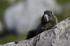 Hoary Marmot - stock photo