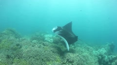 Manta Swimming Over Reef Stock Footage