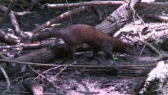 Everglades Mink searching for food Stock Footage
