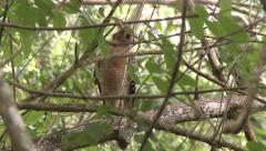 Red Shouldered Hawk watching Everglades Mink Stock Footage