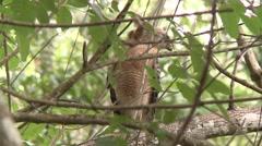 Red Shouldered Hawk watching Everglades Mink Stock Footage