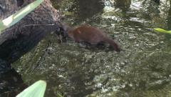 Everglades Mink feeding 2 Stock Footage