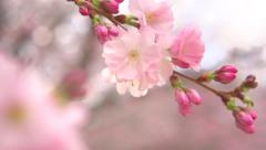 Japanese garden. Beautiful blooming sakura trees with flowers over mountains - stock footage