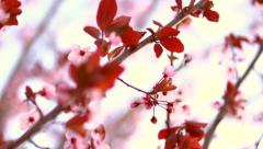 Beautiful spring flower close-up. Beauty nature scene with blooming trees - stock footage