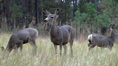 Low Angle Shot of Alert Mule Deer Doe and High Stepping Fawn Stock Footage