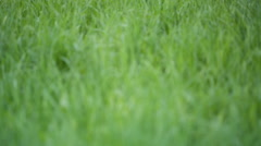 focus pull through fresh spring grass on the lawn in the courtyard, prores - stock footage