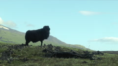 Black Sheep in ICELAND - CIRCA AUGUST, 2014 Stock Footage