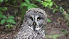 Stock Video Footage of The Great grey owl (Strix nebulosa) Close-Up