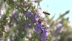 Bee collecting pollen from flower. Honey bee is working Stock Footage