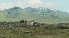 Sheep on a Lava Plain near Snaefellsness , ICELAND Stock Footage