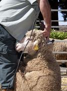 Mature farmer shearing sheep with clipper - stock photo