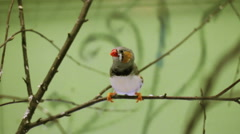 Zebra finch Stock Footage