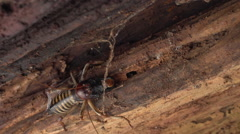 Weta crawls into rotting log. Stock Footage
