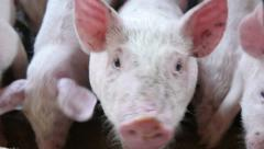 4k, little pink pig on a farm 5 Stock Footage