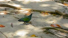 Colorful Nicobar Pigeon Struts in the Sand Stock Footage