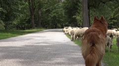 Dog herding sheep in green field Stock Footage