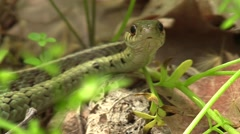 Close up garter snake on forest floor nature wildlife Stock Footage