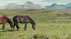 Small Herd of Horses Grazing in a Field- ICELAND Stock Footage