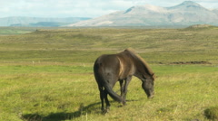 Dark Icelandic Horse Grazing in a Field- ICELAND Stock Footage