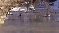 Hooded merganser swims on a cold winter river nature wildlife Stock Footage