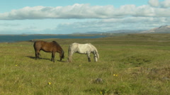 Icelandic Horse Grazing in a Field- ICELAND Stock Footage