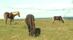 Three Icelandic Horses Grazing in a Field Stock Footage