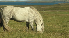 Beautiful White Spotted Icelandic Horse Eats Grass Stock Footage